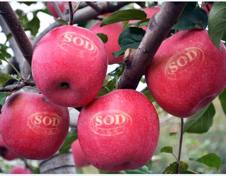 二仙坡红富士苹果