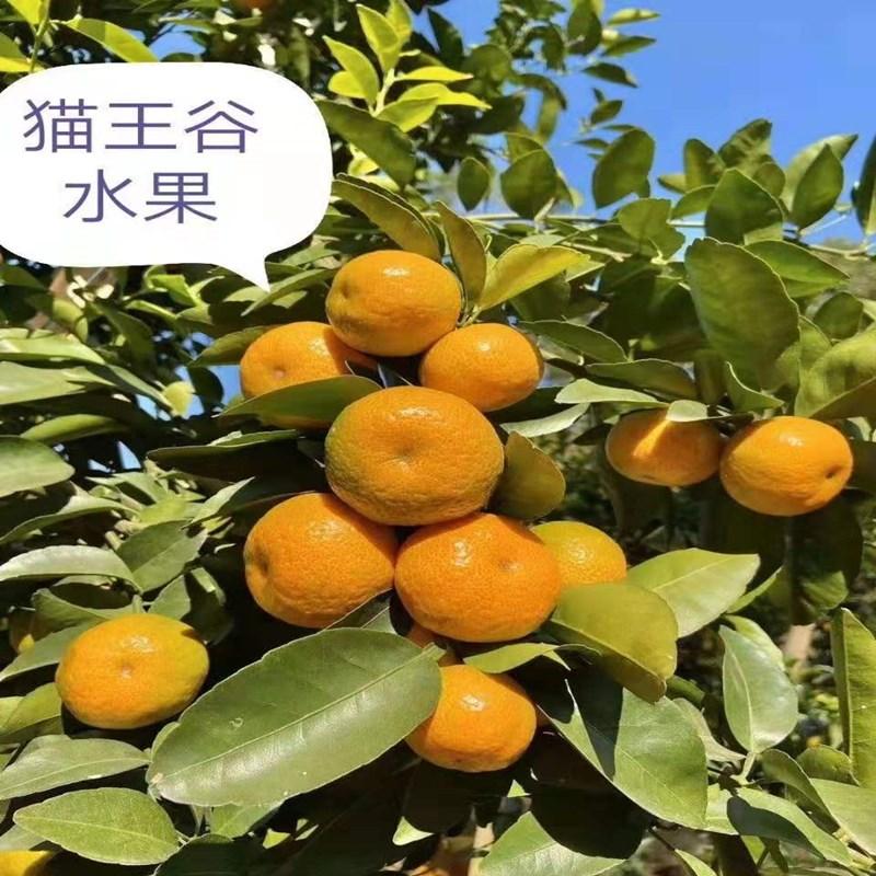 猫王谷砂糖橘 10斤